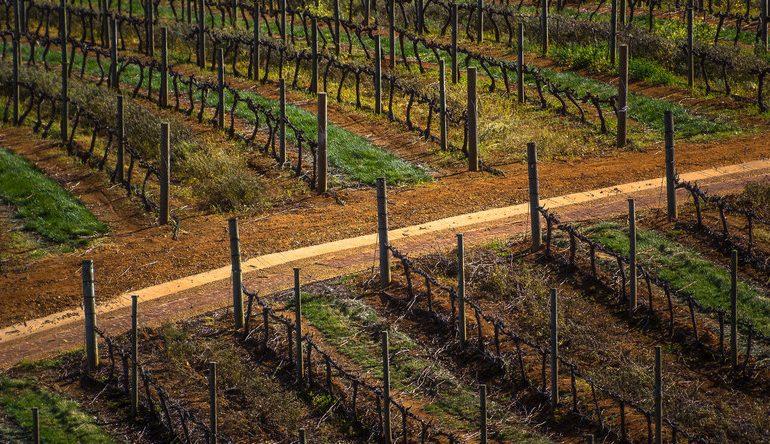 Каберне где растет виноград