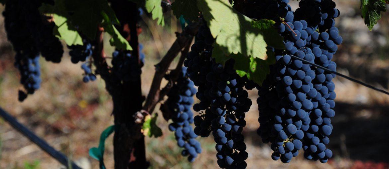 Каберне-совиньон виноград и вино
