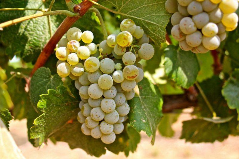 Виноград Альбариньо