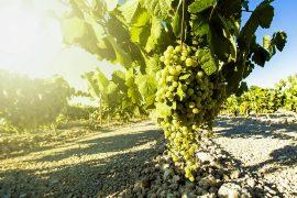 Альбариньо обзор вина из сорта винограда