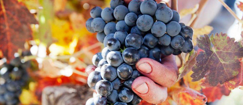 обзор винограда сорта темпранильо
