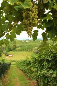 виноград Глера (просекко)