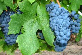 Пинотаж - вино с характером